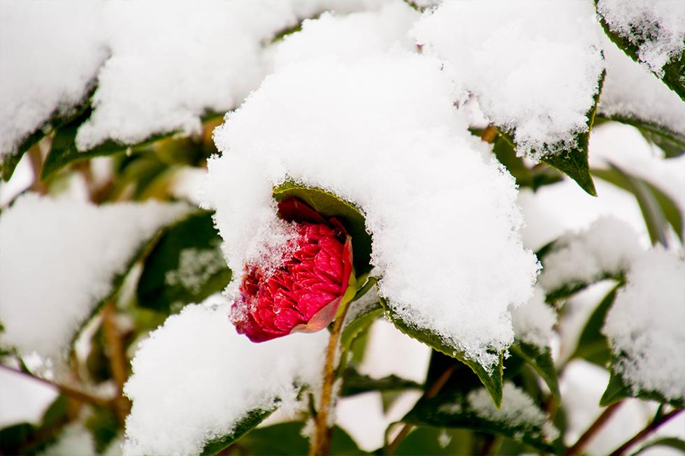 ゆう月 冬の庭園 椿 雪 紅唐子