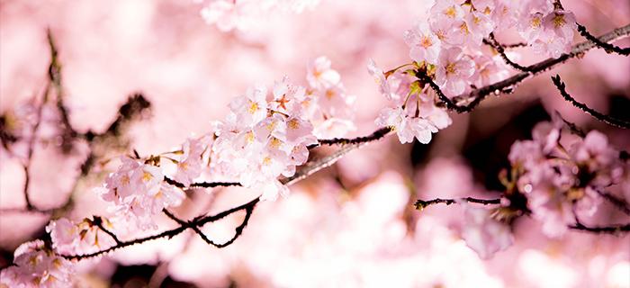 綾部の料亭 ゆう月 春 お花見 夜桜 ライトアップ 桜の名所