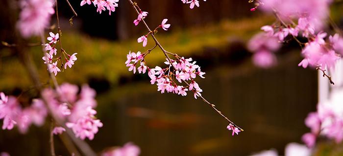 綾部の料亭 ゆう月 春 お花見 桜 桜の名所
