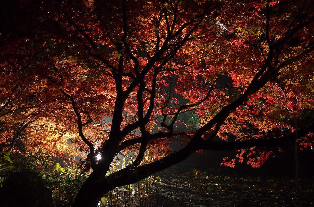 綾部の料亭 ゆう月 秋の庭園 紅葉 ライトアップ