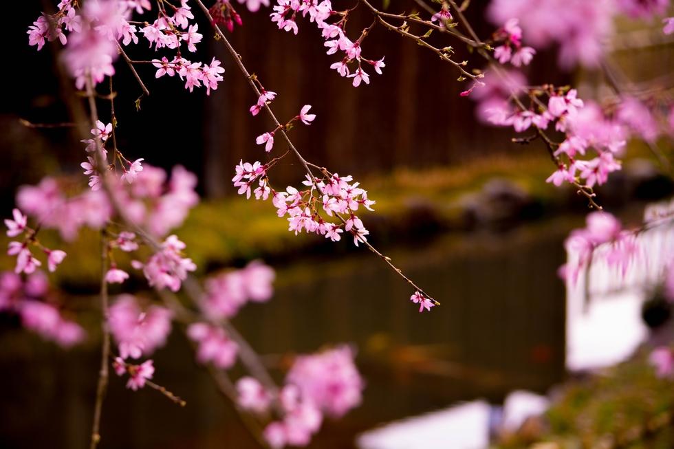 春の庭園 日本庭園 春景色 料亭