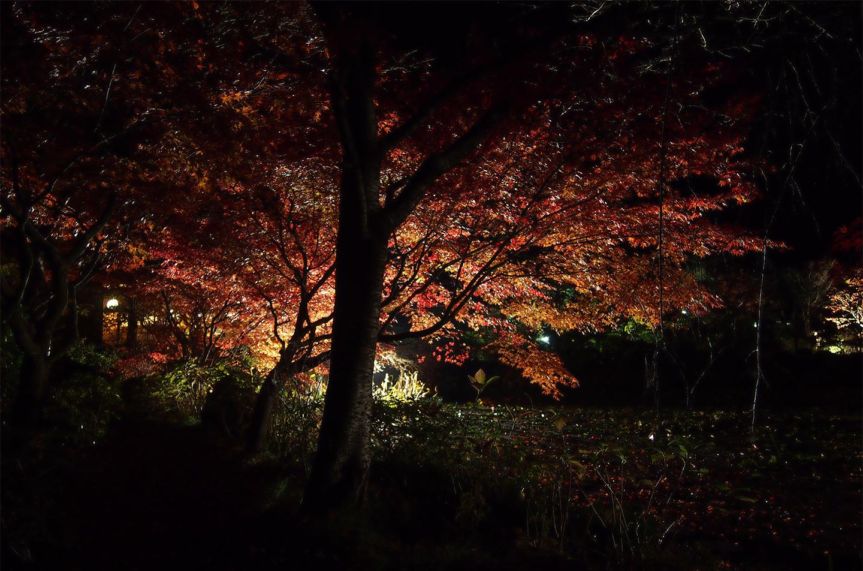 綾部の料亭 ゆう月 秋の庭園風景 紅葉 夜景 ライトアップ