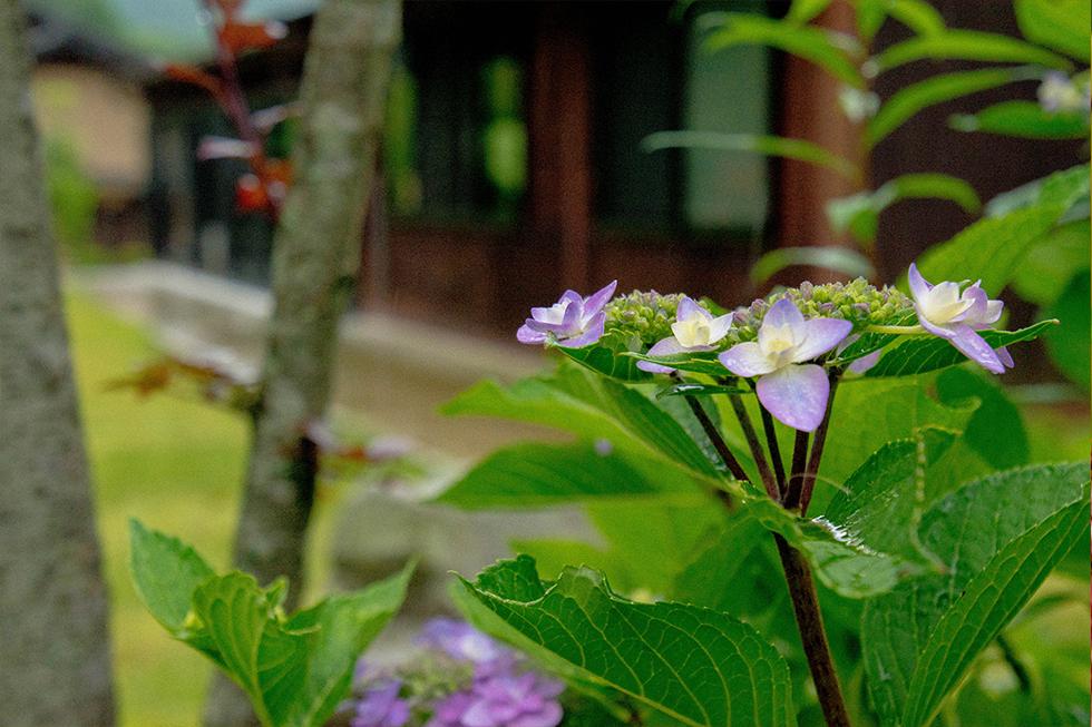 綾部の料亭 ゆう月 庭園 夏 睡蓮 紫陽花