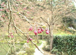 綾部ゆう月 桜(枝垂れ桜)