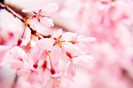 綾部の料亭 ゆう月 桜前線が到来する庭園の夜桜ライトアップ 一般公開